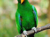 Beautiful green eclectus parrot bird